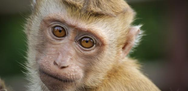 historische achtergrond aap uit de mouw