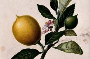 De citroen: een bron van vitamine C