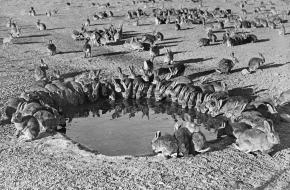 Konijnen Australië plaag
