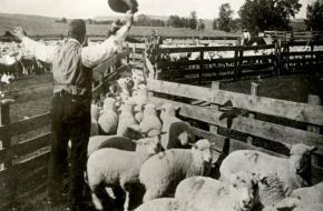Een schaapherder drijft zijn kudde schapen naar een afgesloten stuk land, Nederland 1916. Bron: Nationaal Archief 'Het Leven'.