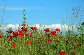 Klaproos als symbool voor de Eerste Wereldoorlog