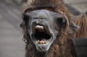 Mens en kameel